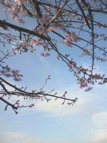2012.03.14.sakura.jpg