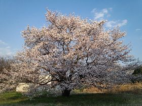 2012.04.10.桜.jpg
