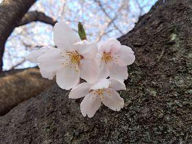 2012.04.10.桜2.jpg